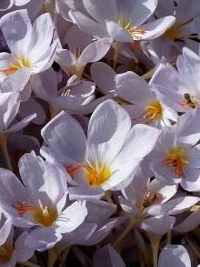 iridaceae       crocus       pulchellus       Zephyr       crocus