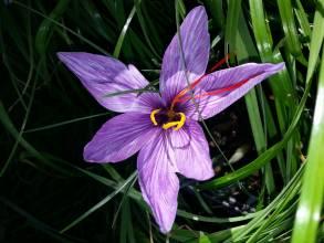 iridaceae       crocus       sativus              crocus, safran