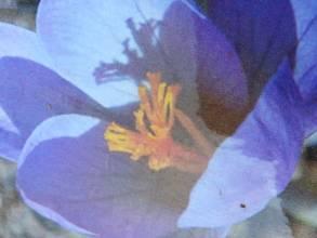 iridaceae       crocus       serotinus       ssp. salzmannii       crocus
