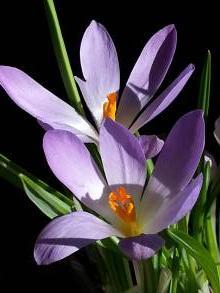 iridaceae       crocus       sieberi       Firefly       crocus