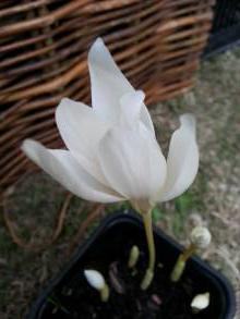 iridaceae       crocus       speciosus       Albus       crocus
