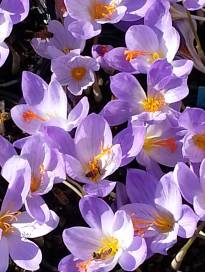 iridaceae       crocus       speciosus       Oxanian       crocus