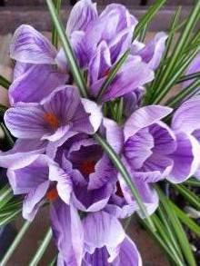 iridaceae       crocus       vernus       Pickwick       crocus