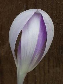 iridaceae       crocus       vernus       Vanguard       crocus
