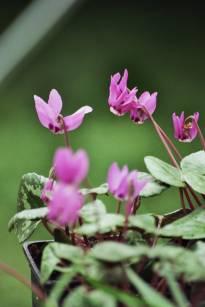 primulaceae       cyclamen       coum       Rubrum       cyclamen