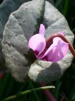 primulaceae       cyclamen       coum       ssp. Elegans       cyclamen
