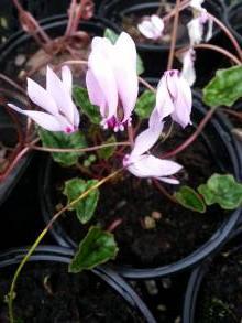primulaceae       cyclamen       hederifolium       Album       Cyclamen des bois, cyclamen à feuille de lierre, cyclamen de Naples
