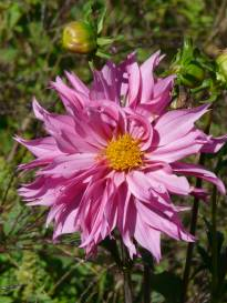 asteraceae       dahlia              Frizzle Sizzle       dahlia
