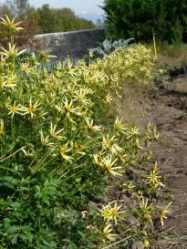 asteraceae       dahlia       honka       jaune       dahlia