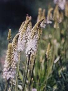 asphodelaceae       eremurus       himalaicus              érémure, lys des steppes