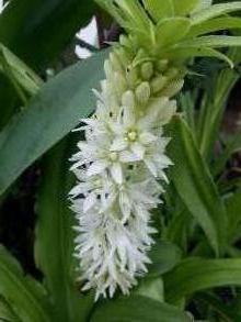 hyacinthaceae       eucomis       autumnalis              eucomis, plante ananas