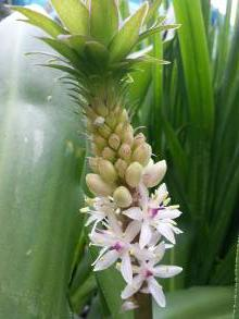 hyacinthaceae       eucomis       comosa       punctata       eucomis, plante ananas