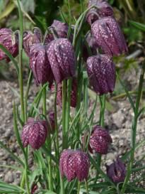 liliaceae       fritillaria       meleagris              fritillaire pintade, oeuf de vanneau, tulipe des marais