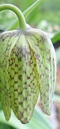 liliaceae       fritillaria       whittallii              fritillaire