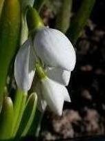 amaryllidaceae       galanthus       elwesii              Perce-neige