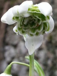 amaryllidaceae       galanthus       nivalis       Flore Pleno       Perce-neige double