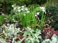 gladiolus callianthus murielae2 jpg