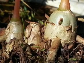 zingiberaceae       hedychium       densiflorum              hedychium, gingembre
