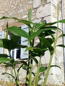 zingiberaceae       hedychium       flavescens              hedychium, gingembre