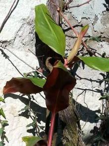 zingiberaceae       hedychium       greenii              hedychium, gingembre
