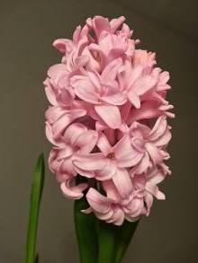 hyacinthaceae       hyacinthus              Ann Mary       jacinthe préparée