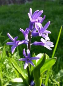 hyacinthaceae       hyacinthus       orientalis              jacinthe romaine