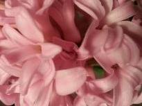hyacinthaceae       hyacinthus              Pink Pearl       jacinthe