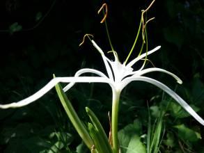 amaryllidaceae       hymenocallis       harrisiana              ismène, hyménocalle