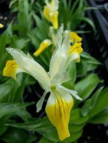iridaceae       iris       bucharica              Iris-orchidée