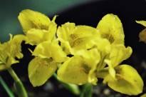 iridaceae       iris       danfordiae              iris