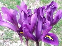 iridaceae       iris       histrioides       George       iris histrioide