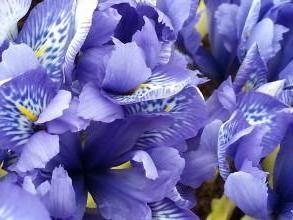 iridaceae       iris       histrioides       Lady Beatrix Stanley       iris histrioide