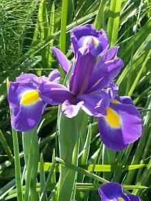 iridaceae       iris       hollandica       Sapphire Beauty       Iris de Hollande, Iris des fleuristes