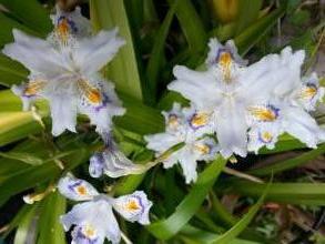 iridaceae       iris       japonica              iris