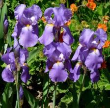 iridaceae       iris       pallida              iris