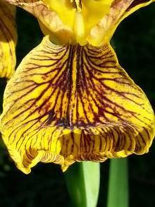 iridaceae       iris       pseudacorus       Berlin Tiger       iris des marais