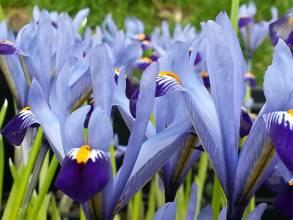 iridaceae       iris       reticulata       Cantab       Iris réticulé
