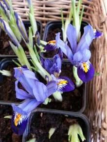 iridaceae       iris       reticulata       Edward       Iris réticulé
