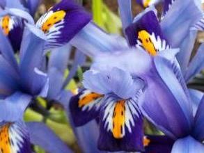 iridaceae       iris       reticulata       Gordon       Iris réticulé