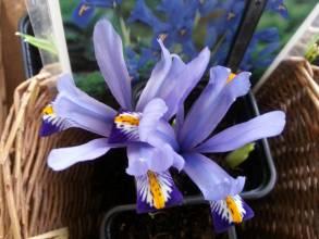 iridaceae       iris       reticulata       Harmony       Iris réticulé