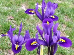 iridaceae       iris       reticulata       Joyce       Iris réticulé