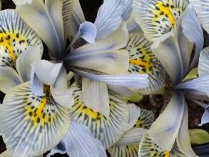iridaceae       iris       reticulata       Katharine Hodgkin       Iris réticulé