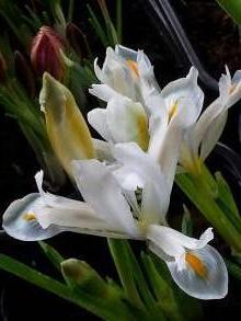 iridaceae       iris       reticulata       Natasha       Iris réticulé