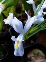 iridaceae       iris       reticulata       Spring Time       Iris réticulé