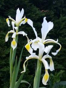 iridaceae       iris       spuria              iris