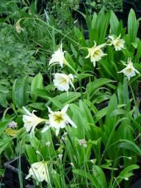 amaryllidaceae       ismene              Sulphur Queen       Ismène