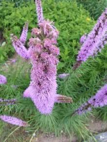 asteraceae       liatris       spicata              liatris, plume du Kansas