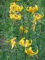 liliaceae       lilium       leichtlinii               lys