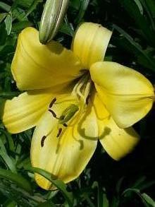 liliaceae       lilium       regale       Golden Splendour       lys royal