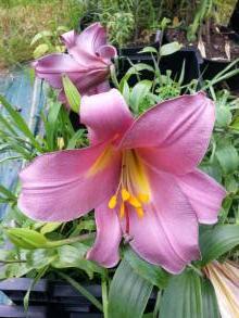 liliaceae       lilium       regale       Pink Perfection       lys royal